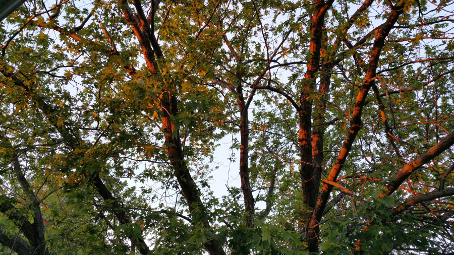 The last rays of sun shoot over the roof onto the branches of the wide spread maple tree.
